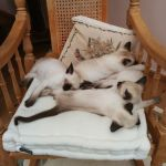 Siamese snooze time!